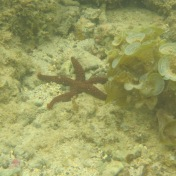 Seestern auf Mauritius