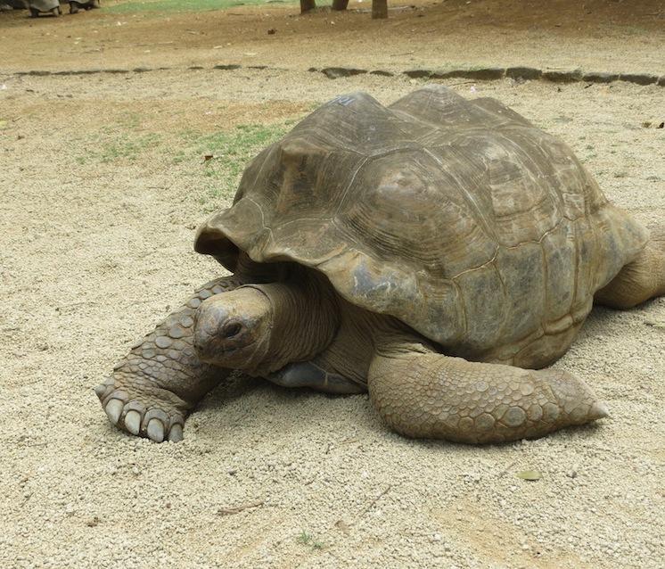 Riesenschildkröten im La Vanille Crocodile Park