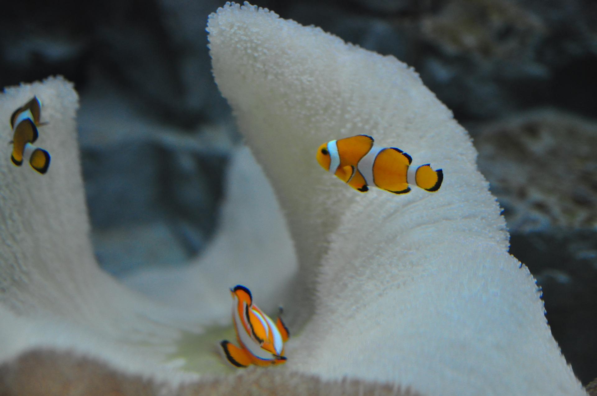 Clownfische_ Anemonenfische_Haus des Meeres Wien