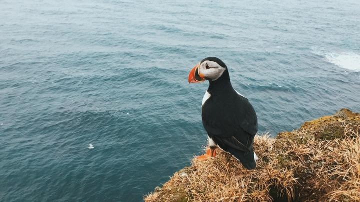 Reisetipp für 2018_Färöer-Inseln_Papageientaucher