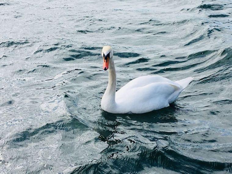 Schwan in der Donau
