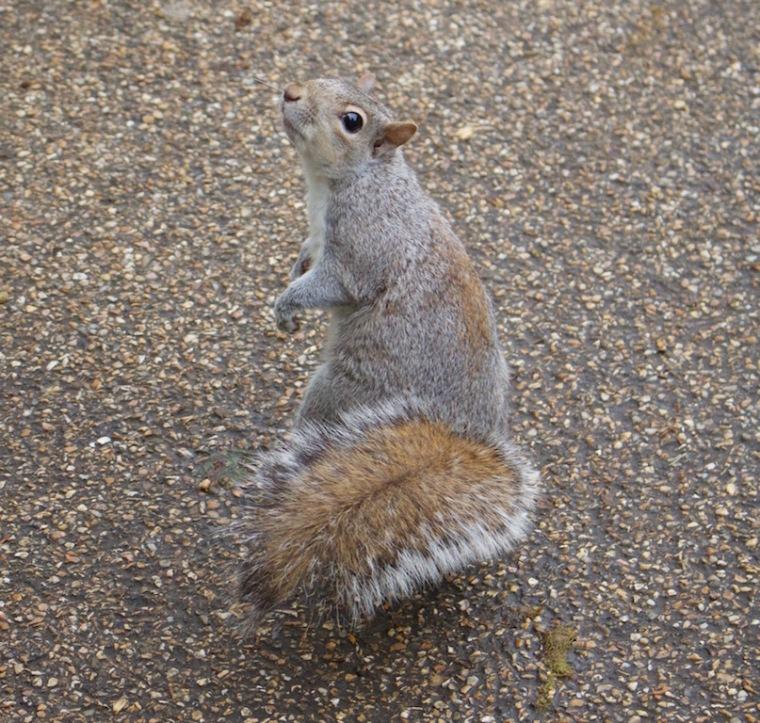 Eichhörnchen im St. James's Park London.jpg