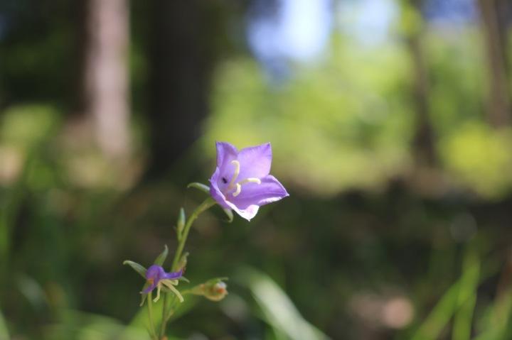 Makroaufnahme Blume Stausee Ottenstein.jpg