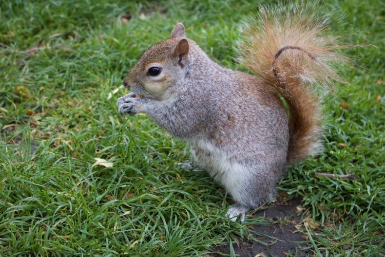 St. James's Park London Eichhörnchen