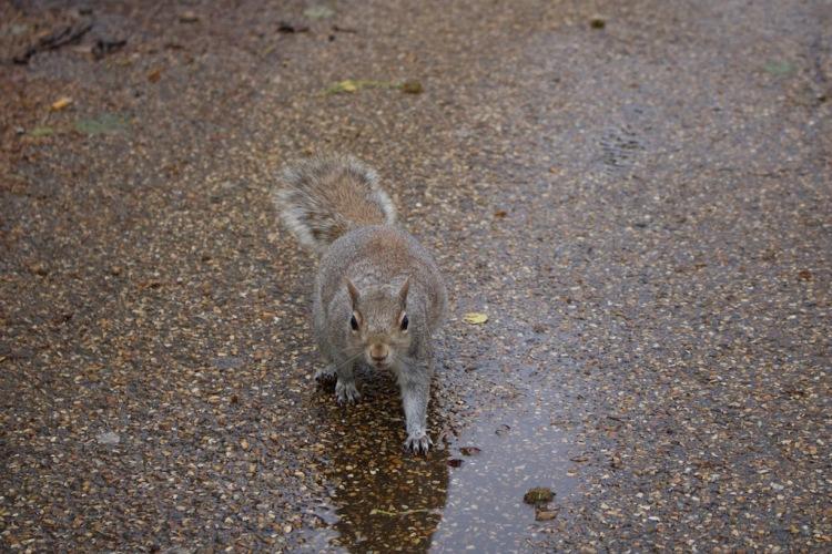 St. James's Park London Eichhörnchenshooting.jpg