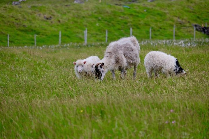 Färöer-Inseln_Gásadalur_Schafe