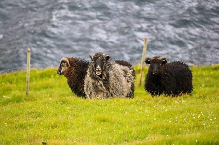 In Eiði Schnappschuss Schafe