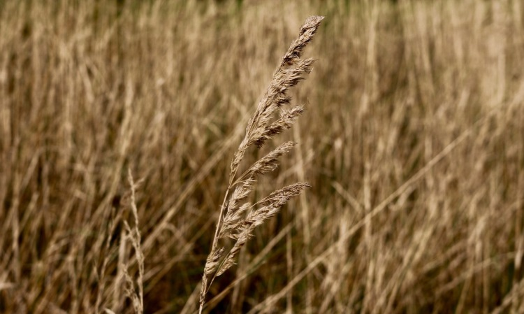 Herbstfoto Tragwein_Trockenes Gras.jpg