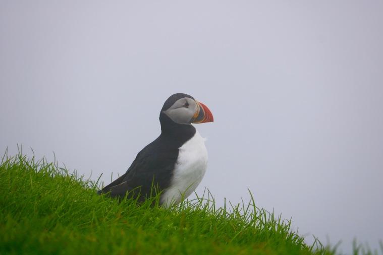 Papageientaucher Mykines Färöer Inseln