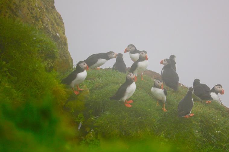 Papageientaucherkolonie Färöer-Inseln Mykines