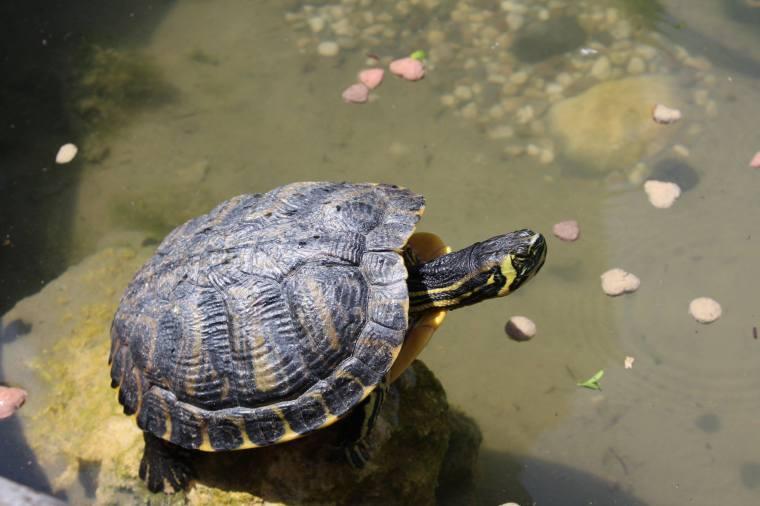 Verona_Giardino Giust_Schildkröte