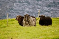 Zu den Einwohnern des Archipels gehören auch 80.000 Schafe.