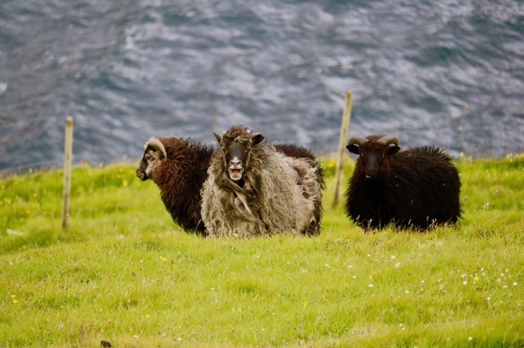 Färöer-Inseln_Schafe