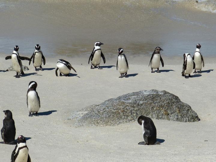 pinguinkolonien in kapstadt_ südafrika