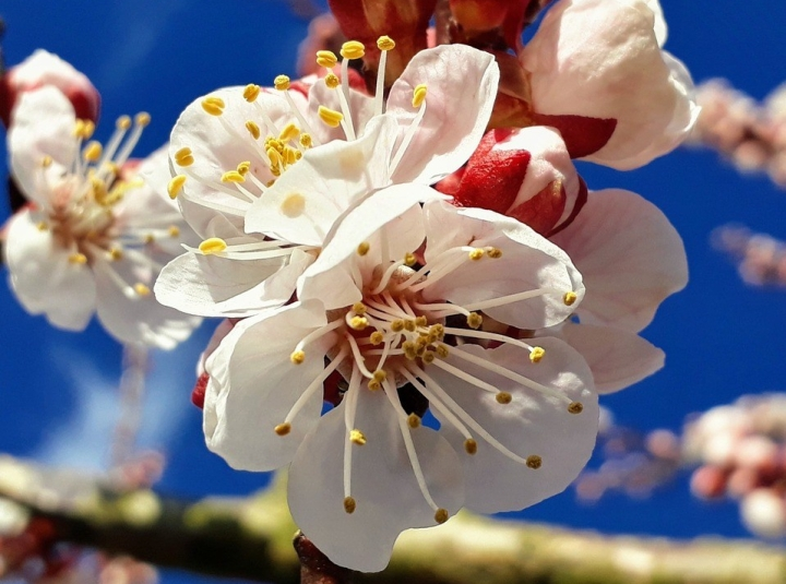 Marillenblüte in der Wachau: Lohnt sich einAusflug?