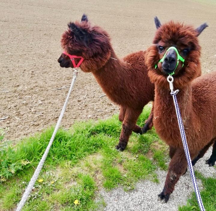 Alpakawanderung in Wilhering